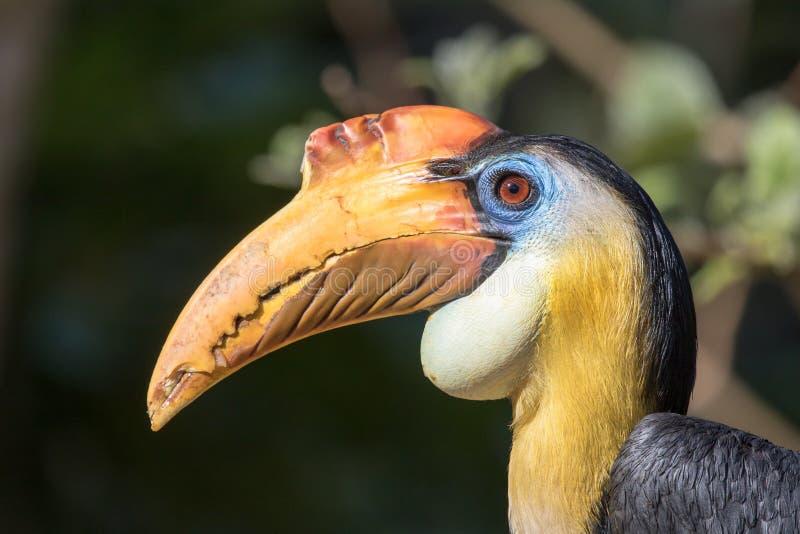 Samiec Sunda marszcząca dzioborożec - Rhabdotorrhinus corrugatus zdjęcie royalty free