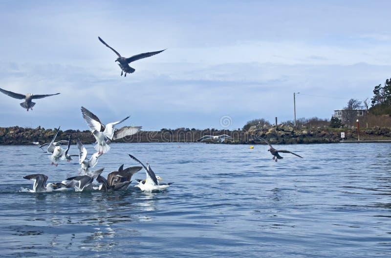 Samla av fiskmåsar i blåttfjärdvatten royaltyfri fotografi