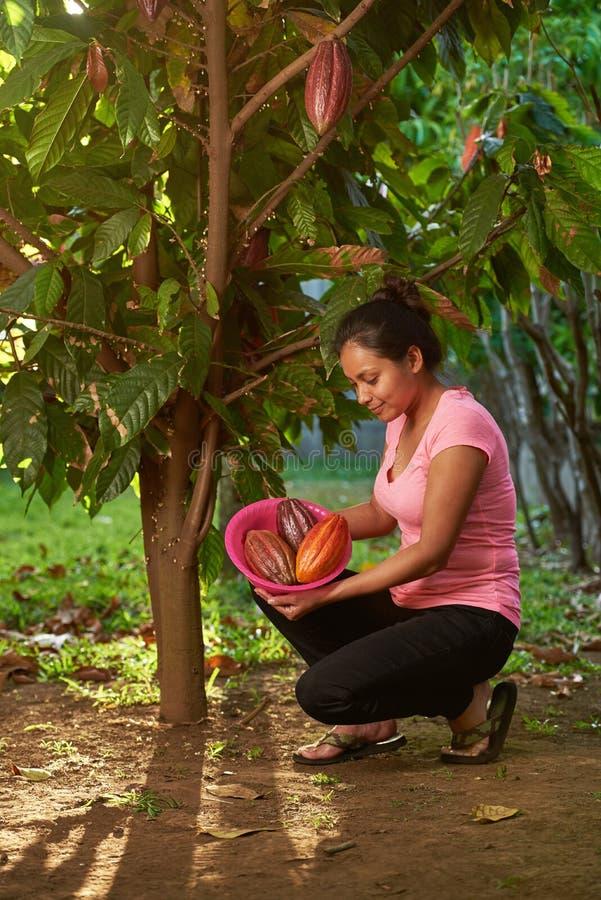 Samla kakaofröskidor från träd arkivfoto