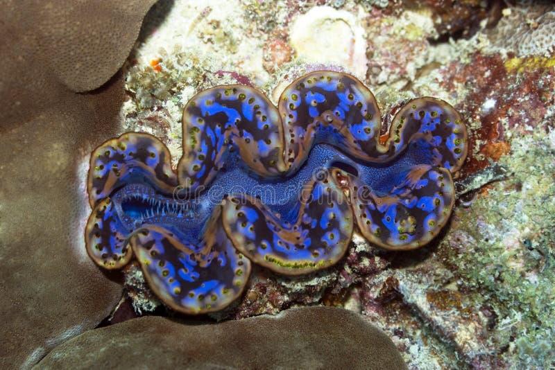 samla musslor jätten royaltyfria foton