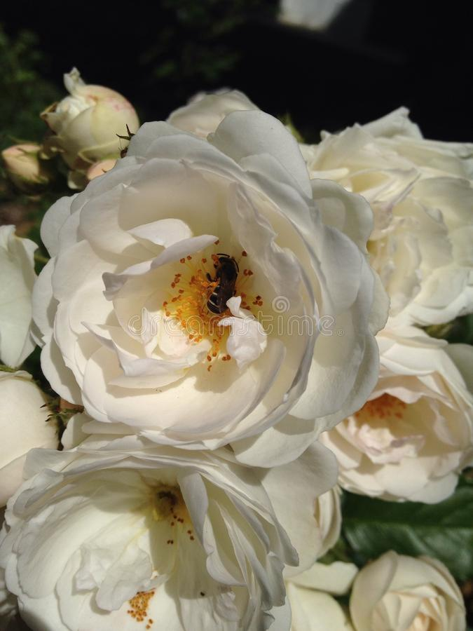 samlad blommapollen för bi bin fotografering för bildbyråer