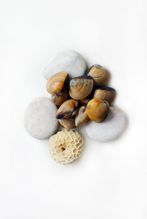samlar musslor det raka nya havet royaltyfria foton