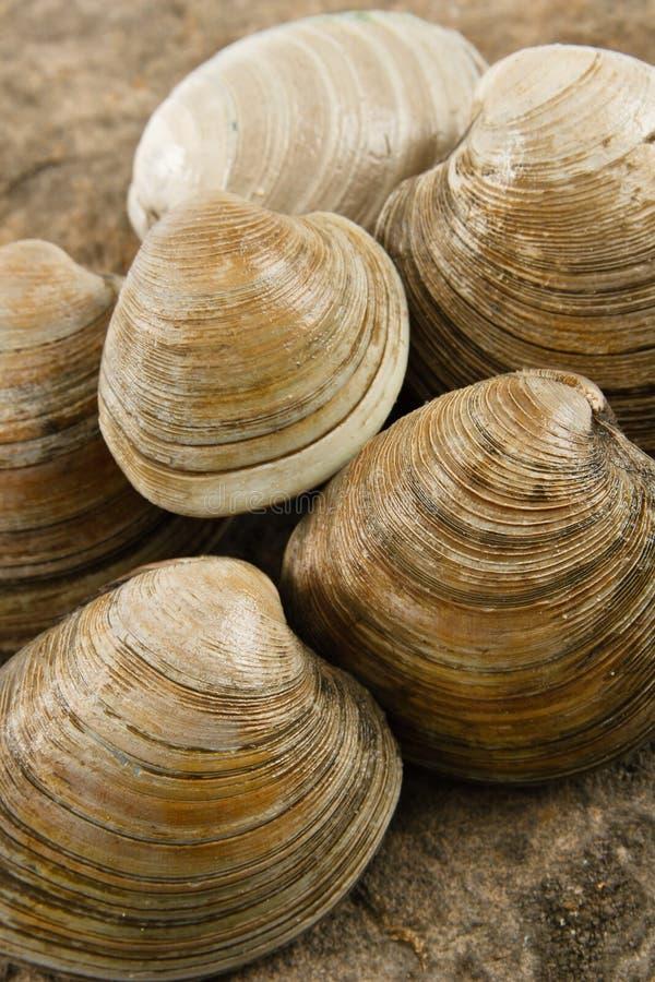 samlar musslor ny littleneck arkivbild
