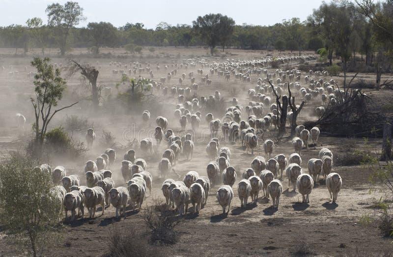 Samlas för får arkivfoto