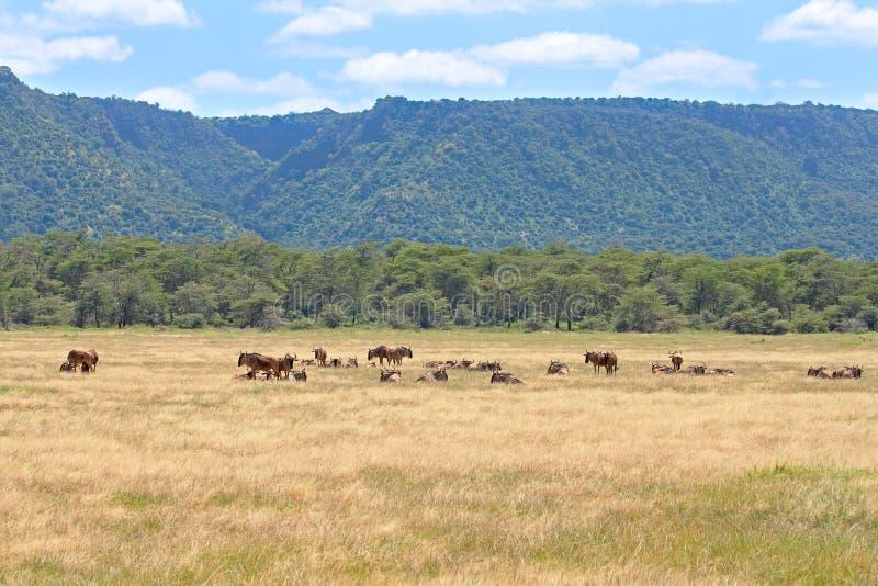 Samlas gnu i Ngorongoro royaltyfri bild
