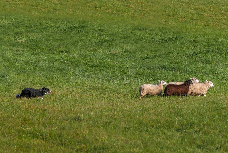 Samlas hundflyttninggruppen av den högra fårOvisariesen arkivfoto