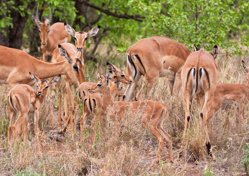 samlas impalas royaltyfria bilder