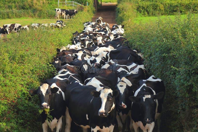 Samlas kor från fält till ladugården royaltyfri foto