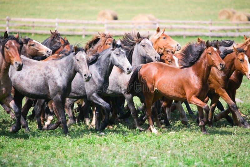 samlas unga hästar arkivfoto