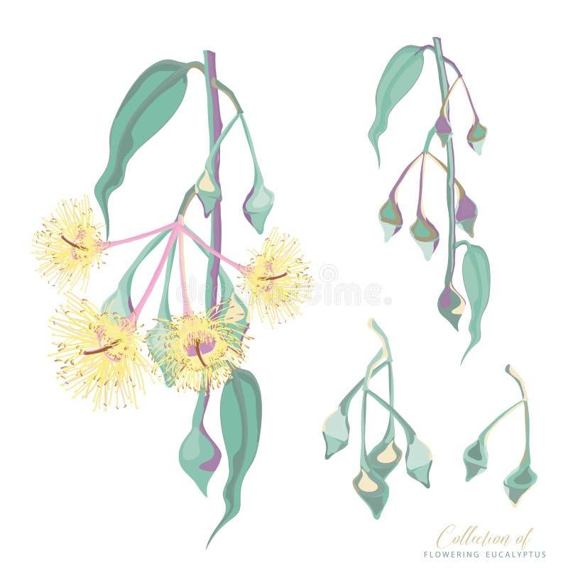 Samling av blommor för blomningeukalyptusträd vektor illustrationer