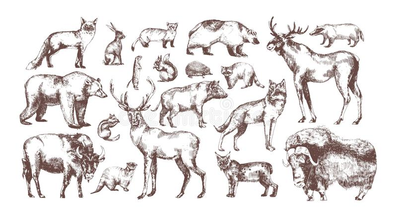 Samling av eleganta teckningar av europeiska skogdjur som isoleras på vit bakgrund Packe av växtätande och stock illustrationer
