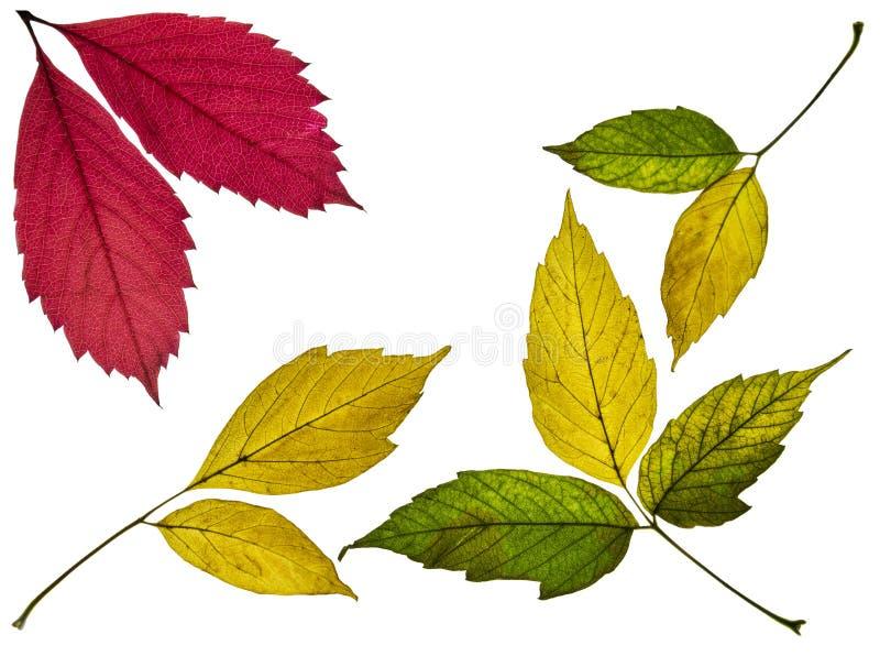 samling av härliga färgrika röda och gröna höstsidor för guling som, isoleras på vit bakgrund royaltyfri bild