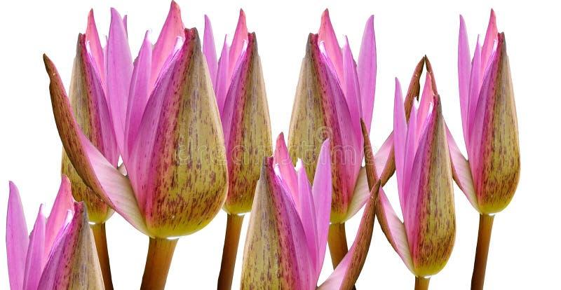Samling av härliga rosa lotusblommablommor som isoleras på vita bakgrunder arkivfoton