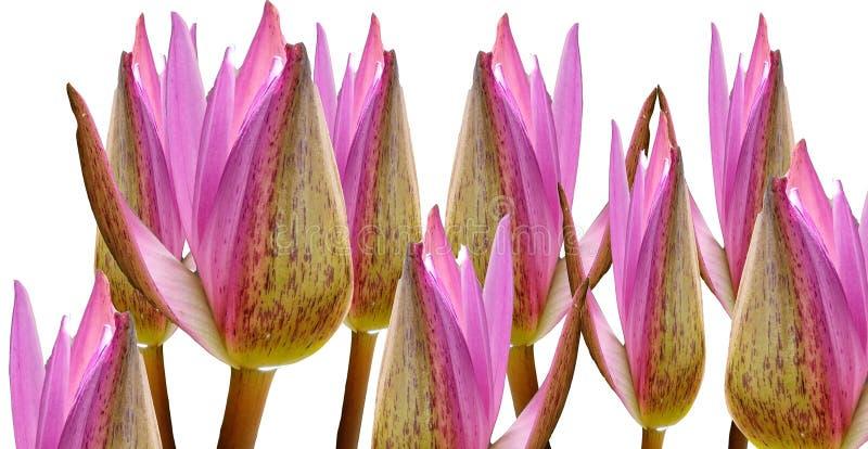 Samling av härliga rosa lotusblommablommor som isoleras på vita bakgrunder arkivfoto