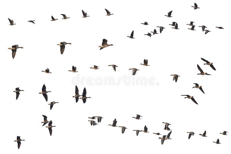 Samling av isolerade flygagässskeins på vit bakgrund arkivfoto