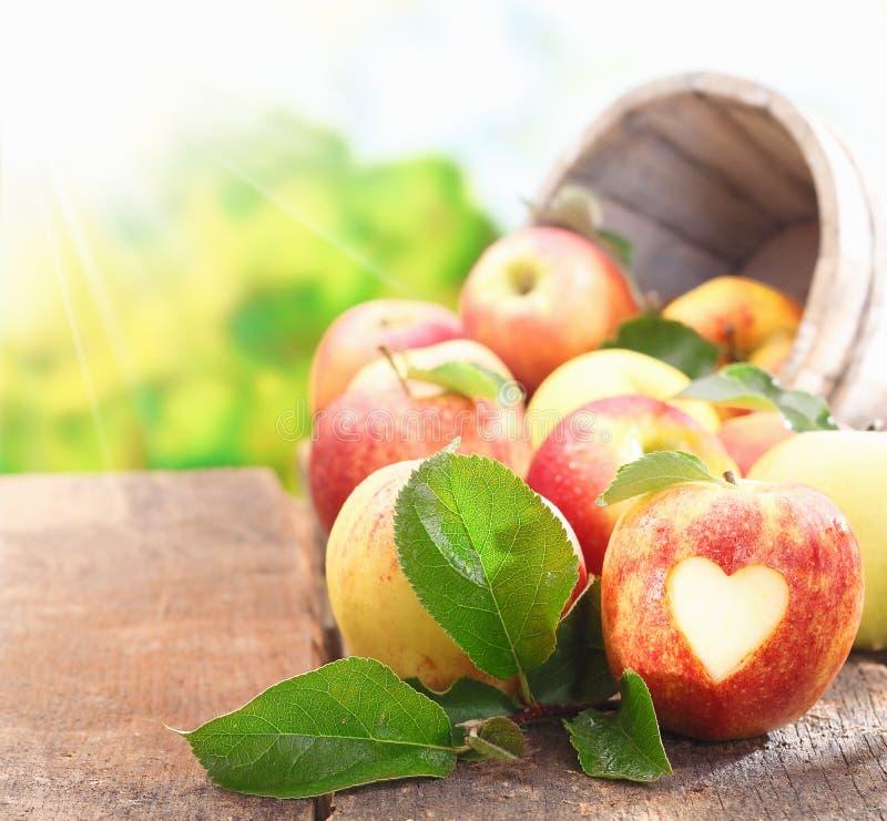 Samling av nytt valda äpplen arkivbild
