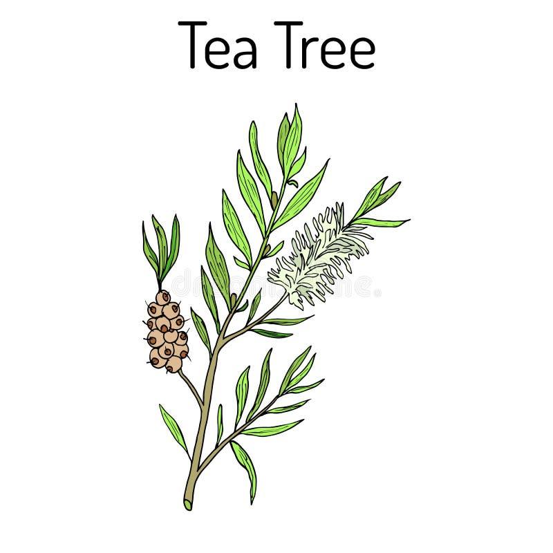 Samling av teträdet Skönhetsmedel och medicinsk växt tecknad hand royaltyfri illustrationer
