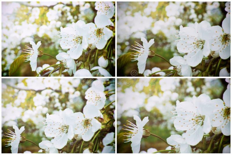 Samling av vita körsbärsröda blomningar royaltyfria foton