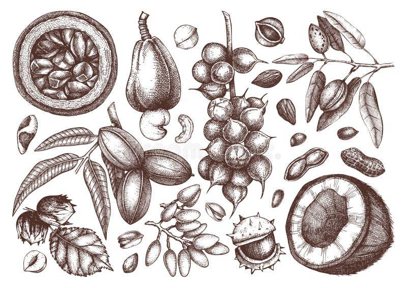 Samling för filialer för för vektormutterträd och växter Sörjer den utdragna pecannöten för handen, macadamia, muttrar, valnöten, royaltyfri illustrationer