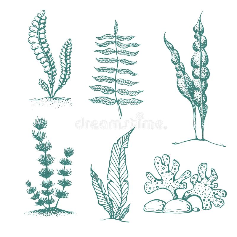 samling för havsväxt för färgpulverhand utdragen olika undervattens- havsväxter och alger Tappningsamling av vektor inristade mar stock illustrationer