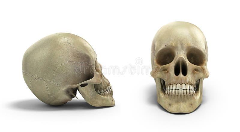 Samlingen av den mänskliga skallen på isolerad vit bakgrund 3d framför vektor illustrationer