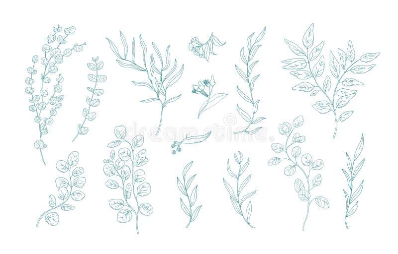 Samlingen av olika eukalyptusfilialer med sidor räcker utdraget med gröna konturlinjer på vit bakgrund Packe av vektor illustrationer