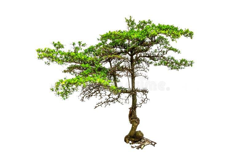 Samlingen av träduppsättningen har det gröna bladet på isolerad vit bakgrund arkivfoton