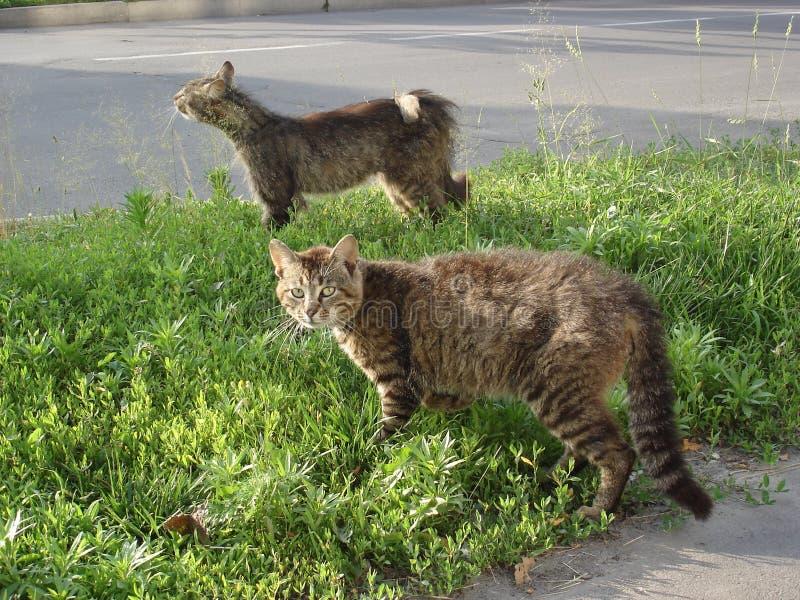 Sammandrabbning över inhemska katter för territoriumstrimmig katt fotografering för bildbyråer