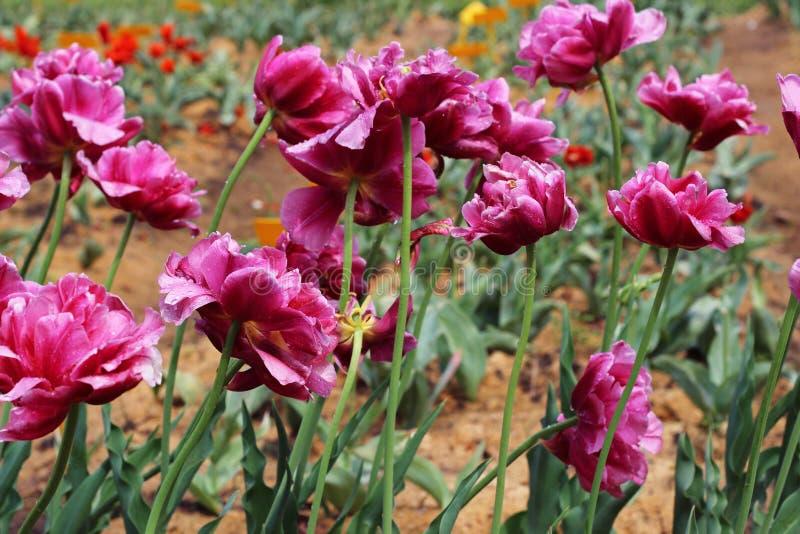 Sammansättning av rosa tulpan i trädgården Purpurfärgad tulpan för pion på en grön bakgrund Tulpan med strimmor på sidor royaltyfri bild
