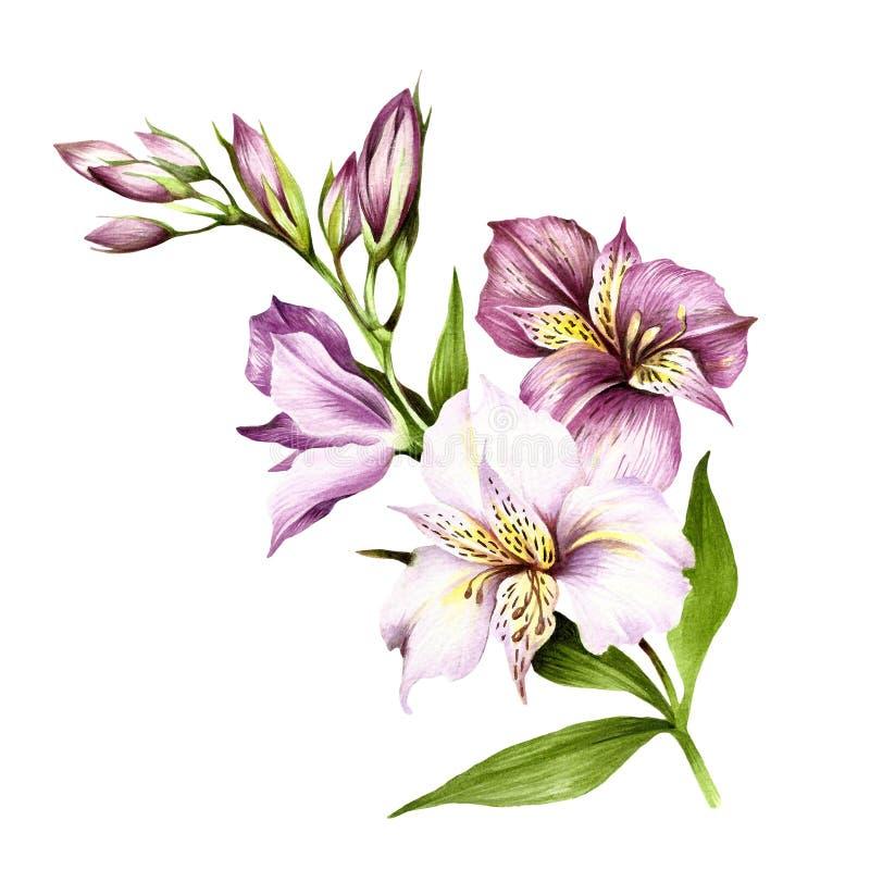 Sammansättning med alstroemeria Illustration för handattraktionvattenfärg royaltyfri illustrationer