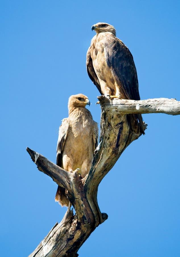Tawny örnar för blek morf (Aquila rapax) arkivfoto