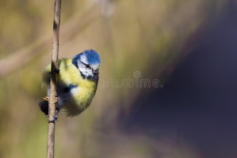 Sammanträde för blå mes för Eurasian på en filial arkivbilder