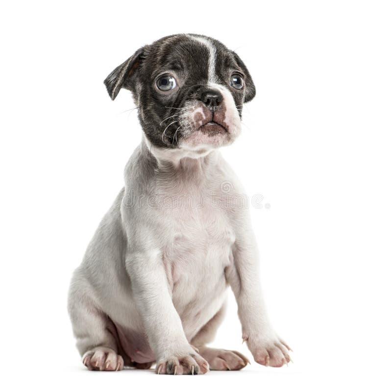 Sammanträde för Boston terriervalp som isoleras fotografering för bildbyråer