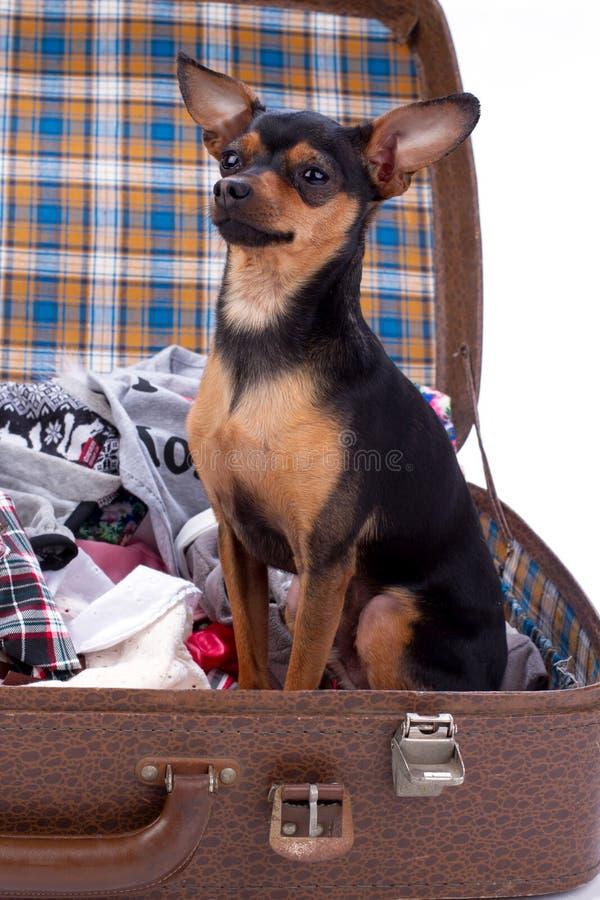 Sammanträde för Cutre terrierhund i resväska arkivbild