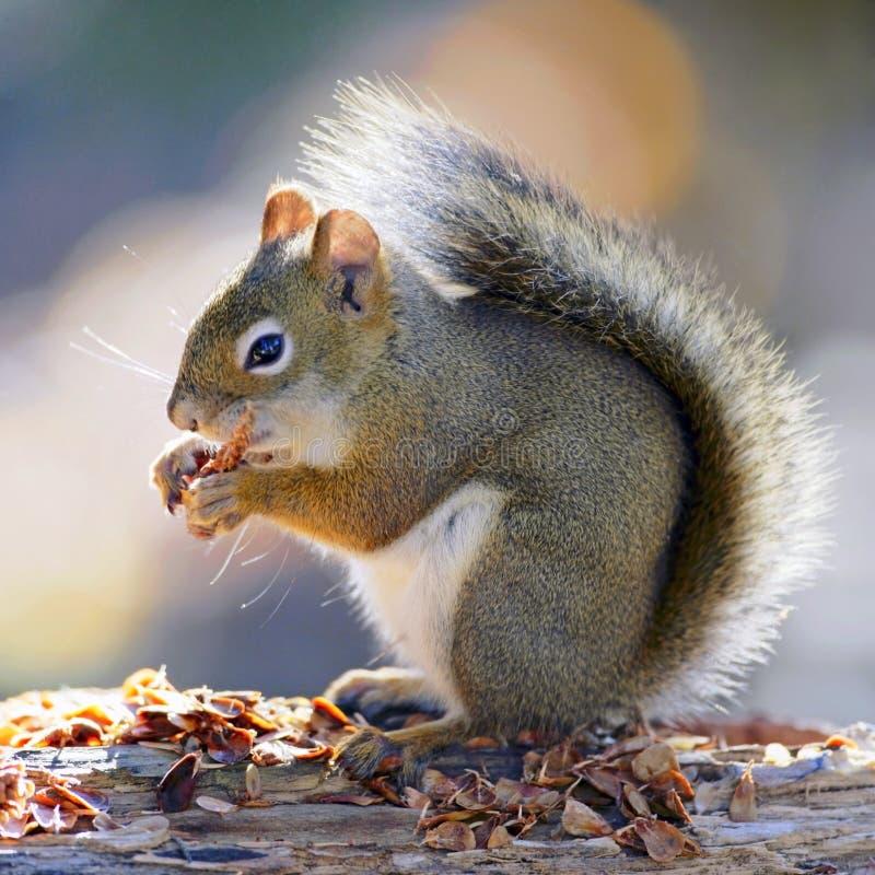 Sammanträde för den röda ekorren på journal, matande frö från sörjer kotten arkivbild
