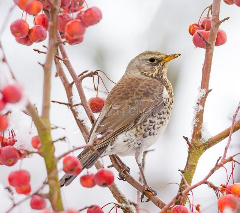 Sammanträde för fågeln för den Mistle trasten på en snö täckte äppleträdet arkivbild
