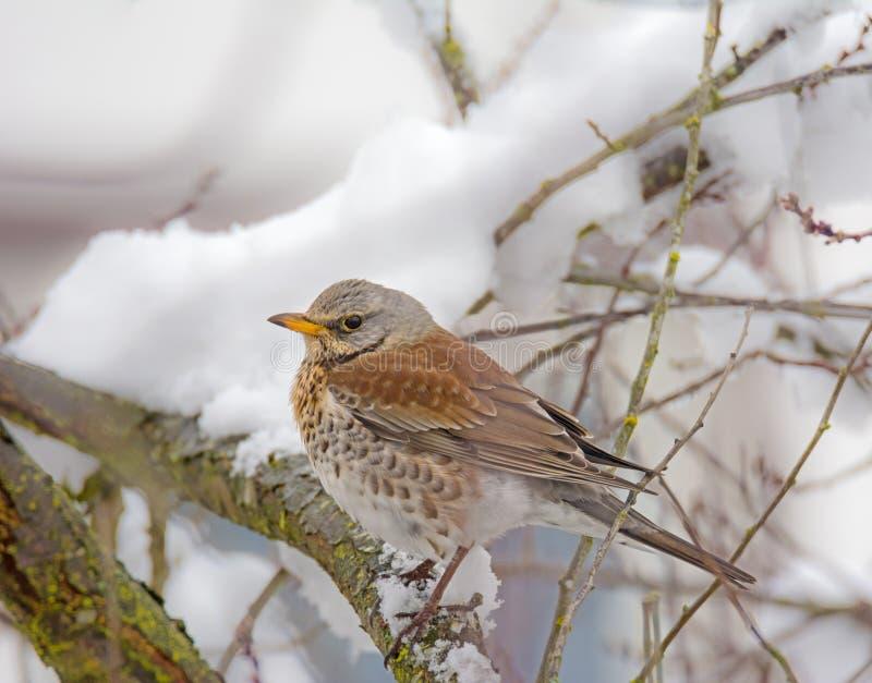 Sammanträde för fågeln för den Mistle trasten på en snö täckte trädet arkivfoton