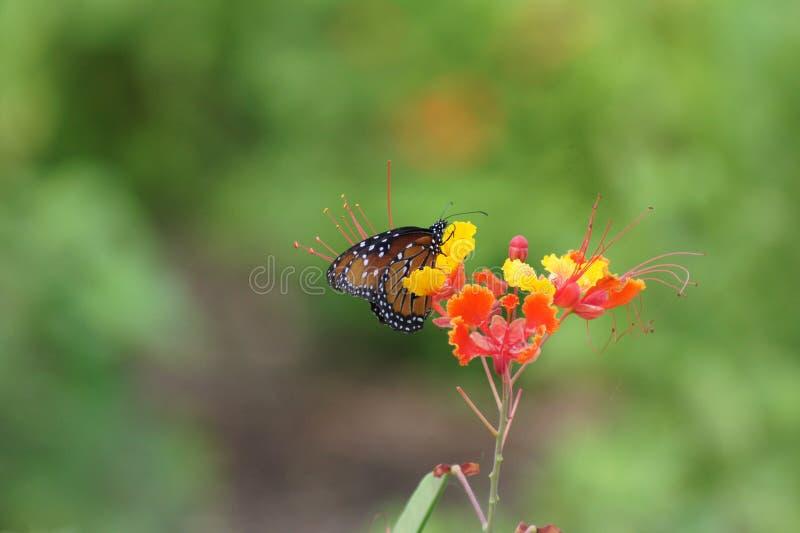 Sammanträde för golfFritillaryfjäril på enfärgad blomma fotografering för bildbyråer