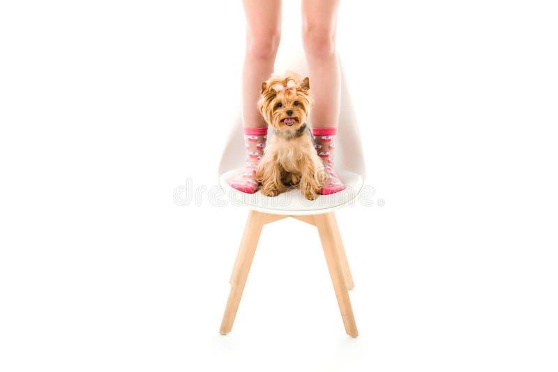 Sammanträde för hund för Yorkshire terrier på stol vid kvinnliga ben royaltyfri bild