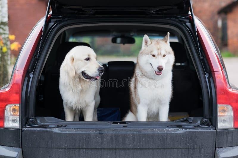 Sammanträde för inhemsk hund i bilstammen Att förbereda sig för ett turhem, når det har gått in, parkerar arkivbilder