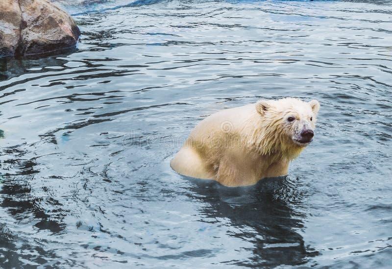 Sammanträde för isbjörngröngöling i vattnet royaltyfria bilder