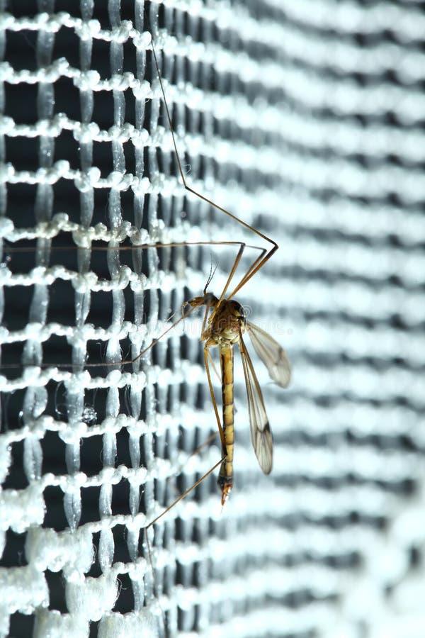 Sammanträde för mygga (Culexpipiens) arkivbilder