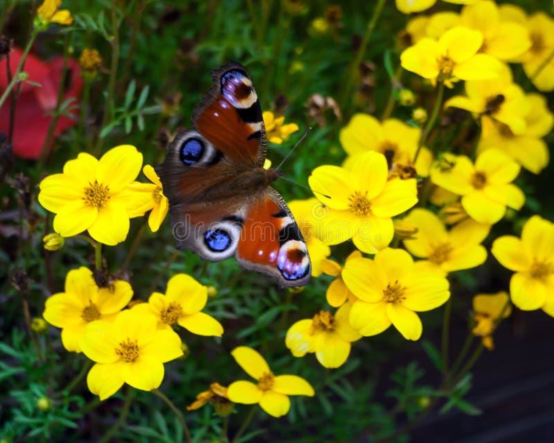 Sammanträde för påfågelfjäril på gula blommor fotografering för bildbyråer