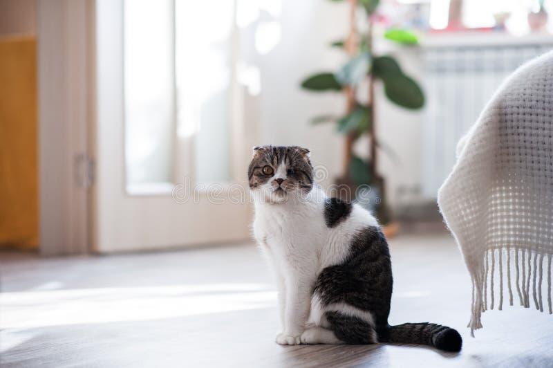 Sammanträde för shorthair för härlig avel för inhemsk katt brittiskt på golvet av ett hus, närbild royaltyfri fotografi