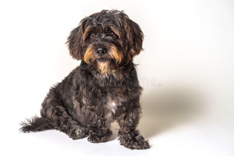 Sammanträde för svart hund som isoleras på vit fotografering för bildbyråer