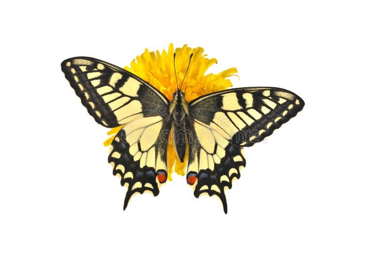 Sammanträde för Swallowtail fjäril (Papilio machaonman) på en dandel royaltyfri bild