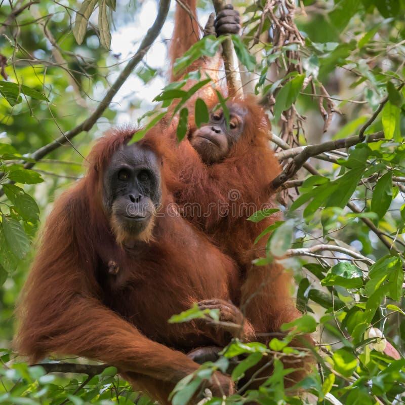 Sammanträde för två orangutang bland gräsplansidor & x28; Sumatra Indonesia& x29; arkivbild