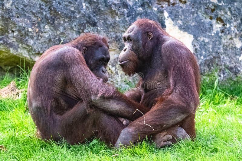 Sammanträde för två orangutang royaltyfri foto