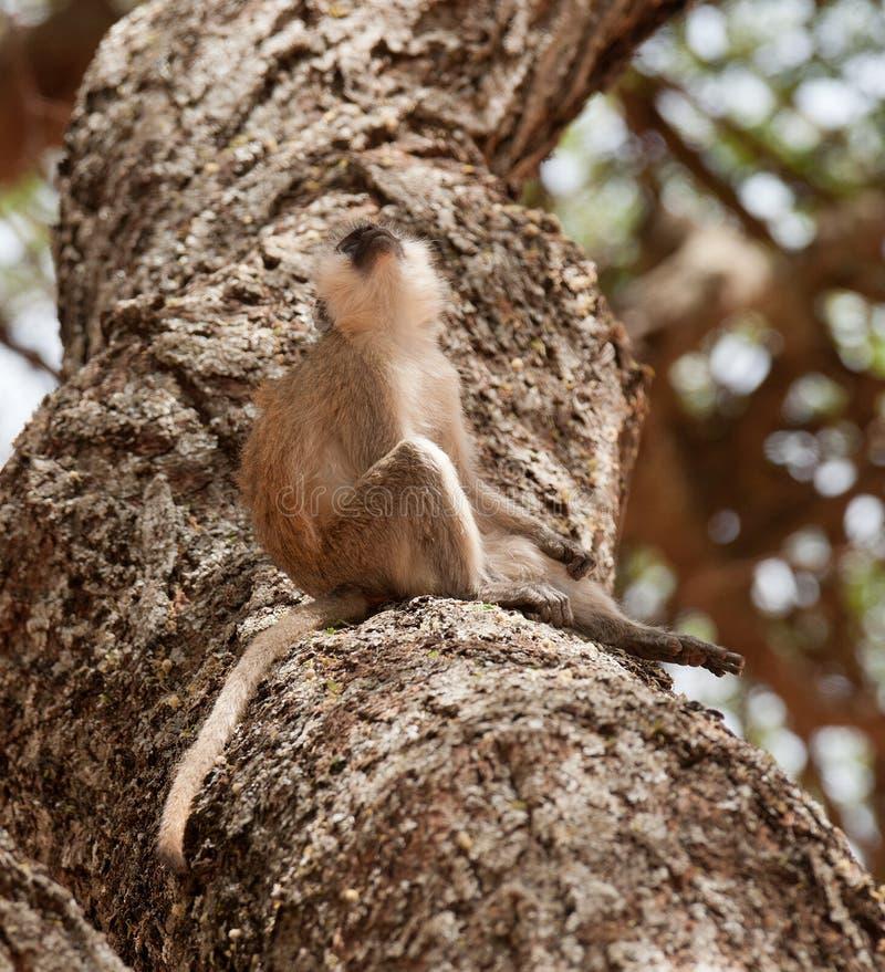 Sammanträde för Vervet apa i ett träd fotografering för bildbyråer