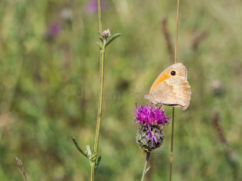 Sammanträdet för fjäril för ängbruntManiola jurtina på en blomma arkivfoto